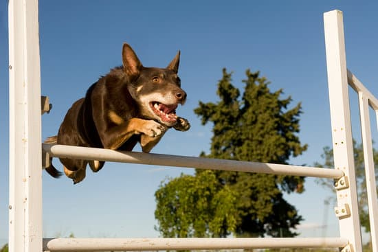 brown australian cattle dog jumping in a competition of agility